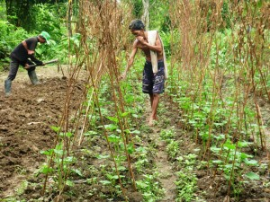Pak Sulai of Pampang village tends to his organic crops