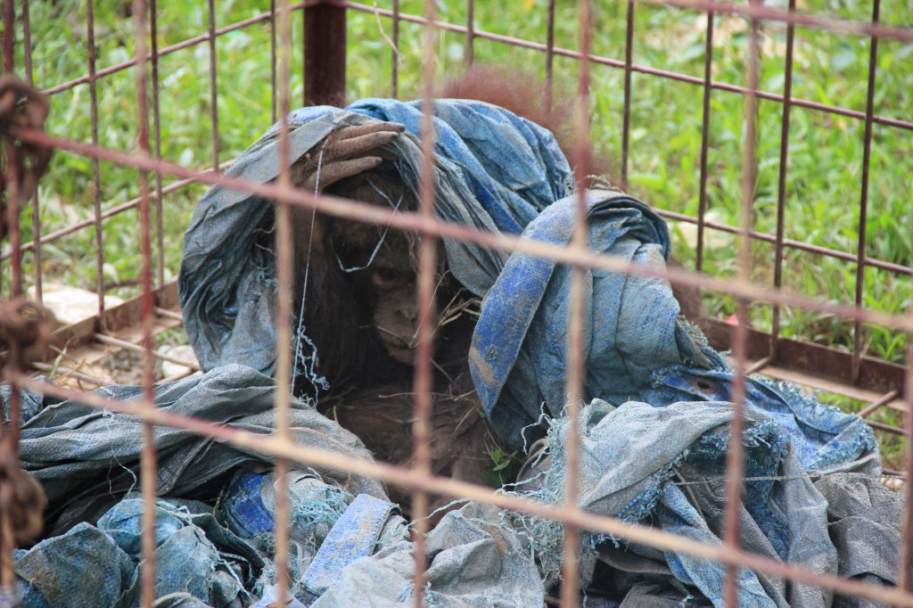 Our Investigation team works to discover and report illegally held orangutans. Orangutans are a globally protected species, but unfortunately are often taken from the forest and kept as pets or sold on the black market.