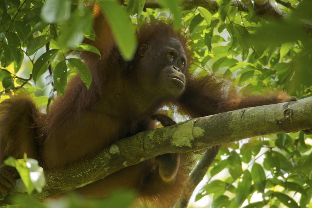 the nature of orangutan or pongo pygmaeus