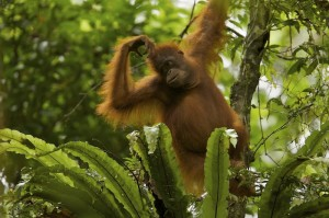 Great apes, including orangutans, are highly intelligent and are thought to have rich emotional lives