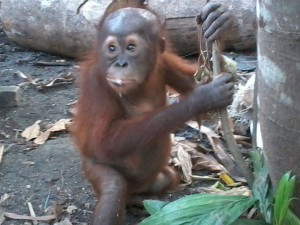 Three of the over 160 orangutans illegally held as pets that have been reported by GPOCP's investigative team over the past decade.