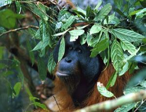 When a heavy rain occurs, many orangutans make rain umbrellas out of leaves and other foliage to shield themselves. These umbrellas are usually shaped into a hat like form that helps to keep them dry.
