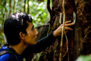 Field assistant Toto measures and records the diameter of a liana that an orangutan has eaten from. These data will be entered into a master database and used in various analyses.