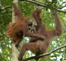 Benny and his mother, Beth, high up in the rainforest canopy. Photo © Tim Laman.