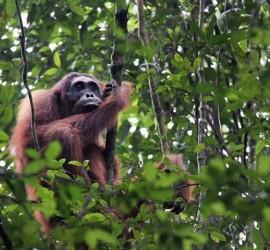Adult female orangutan, Jumi, looks out through the canopy. Photo © Rinaldi Gotama.