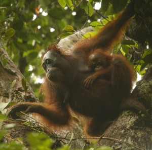 Delly, a Gunung Palung female, travels with her infant, Duwyk. Mother-infant dyads are common in the orangutan's otherwise solitary social system.