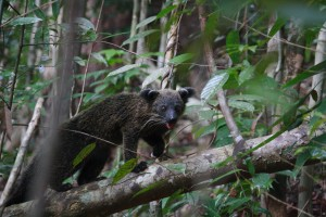 A binturong, the rare and elusive bear cat that roams the forests of Gunung Palung