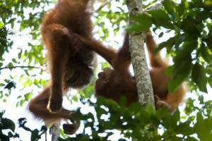 Walimah (left) parties with an unidentified adult female. Bornean orangutans socialize less than their Sumatran counterparts, and witnessing play behavior like this is a rare opportunity.