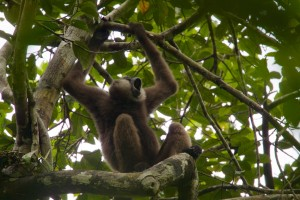 """Gibbon songs are highly complex and often described by listeners as """"hauntingly beautiful."""" Now researchers have learned that their short 'hoo' calls alert other gibbons to the presence of dangerous predators. (Photo © Tim Laman)"""