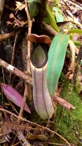 """A small pitcher plant, known locally as """"kantong semar."""" These carnivorous plants are one of Gunung Palung"""