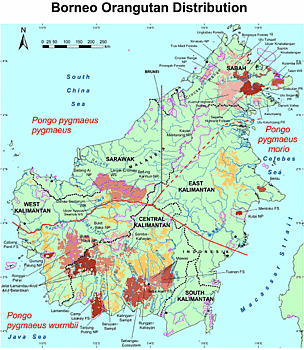 Distribution of the three subspecies of orangutans across Borneo. West Kalimantan is home to two subspecies, Pongo pygmaeus wurmbii and P. p. pygmeaus. Map from Ancrenaz & Lackman-Ancrenaz (2004), and Meijaard & Dennis (2003).