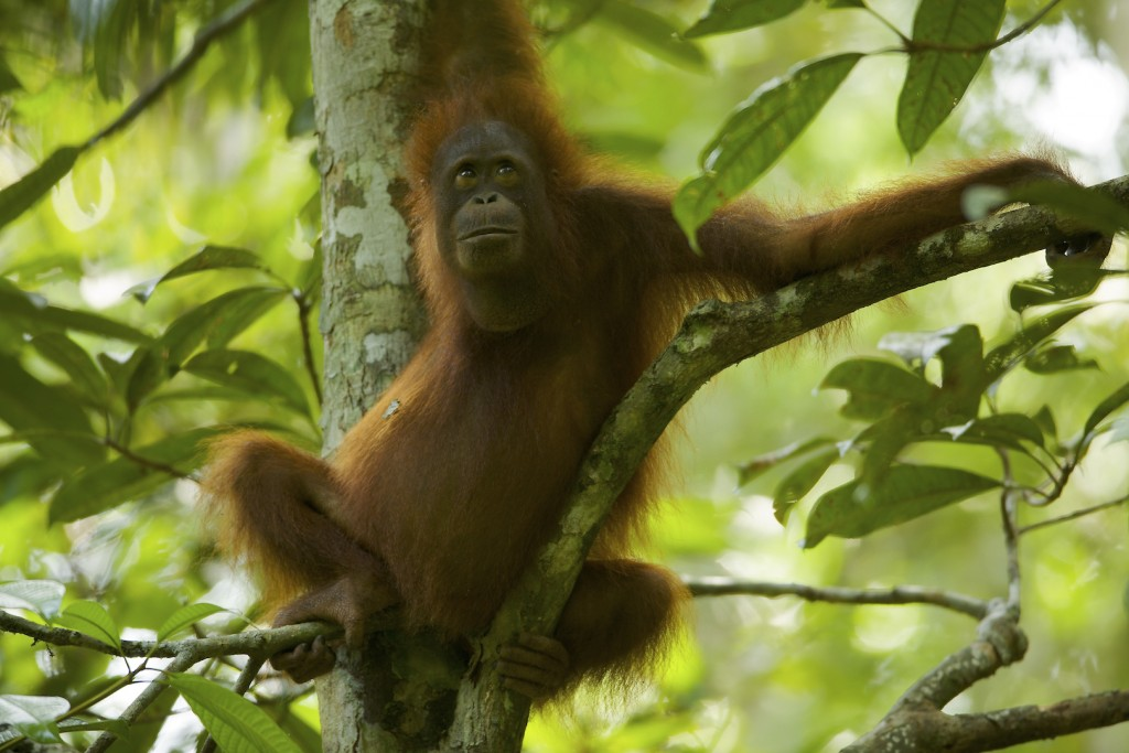 Adolescent female, Walimah, takes a break from foraging to look across the canopy.