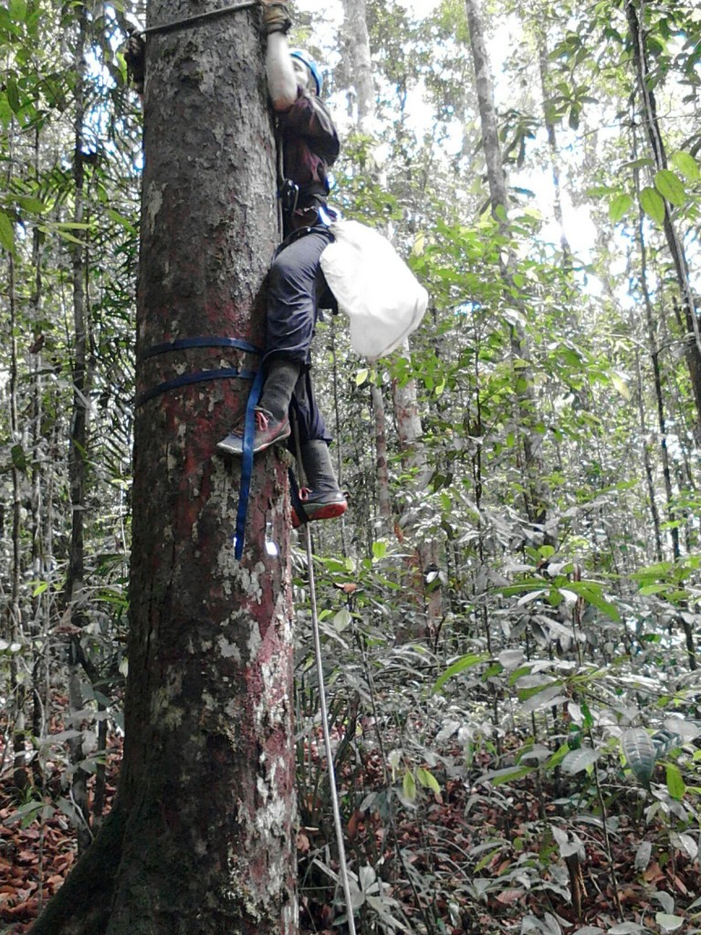 Katie beginning a climb into the canopy to collect food samples for nutritional analysis.