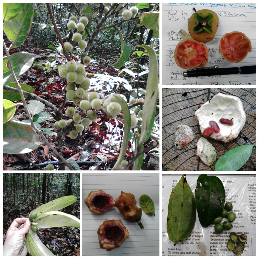 Some of Mayi's fruit samples. Check out the small hairs on the Chaetocarpus fruit! Clockwise, from top left: Chaetocarpus sp., Diospyros sp., Willughbeia sp. Strichnos sp., Ficus sp., Scapium sp.