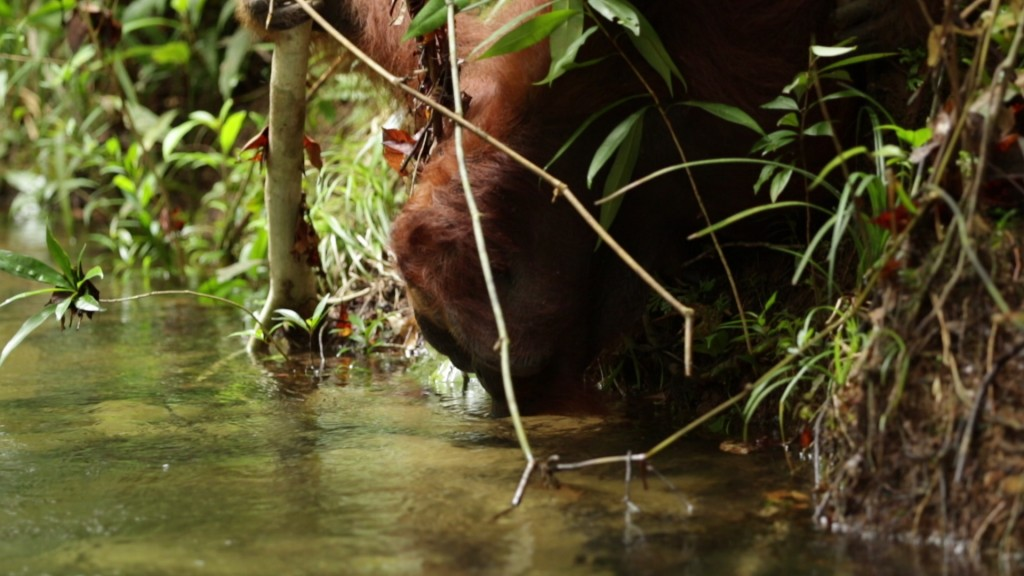 A snapshot of Robert's video showing Codet as he drinks water directly from the river.  Photo © Robert Rodriguez Suro