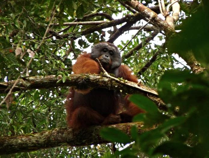 Flanged male orangutan, Prabu, watches over the forest canopy for intruders to his territory.